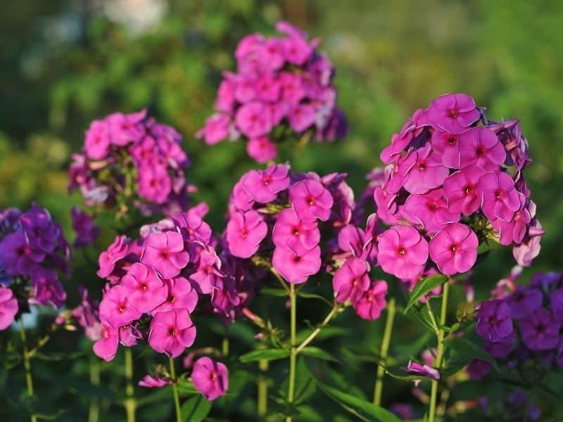 deep pink phlox flowers