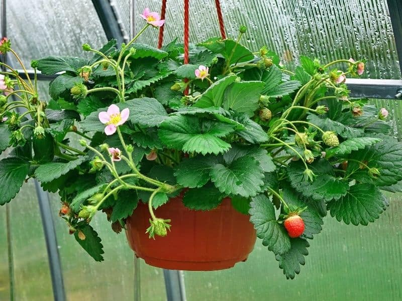 strawberry plant growing in a hanging basket