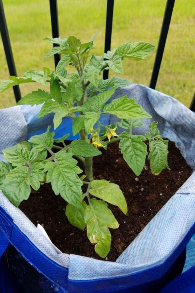 tomato planted in a cloth bag