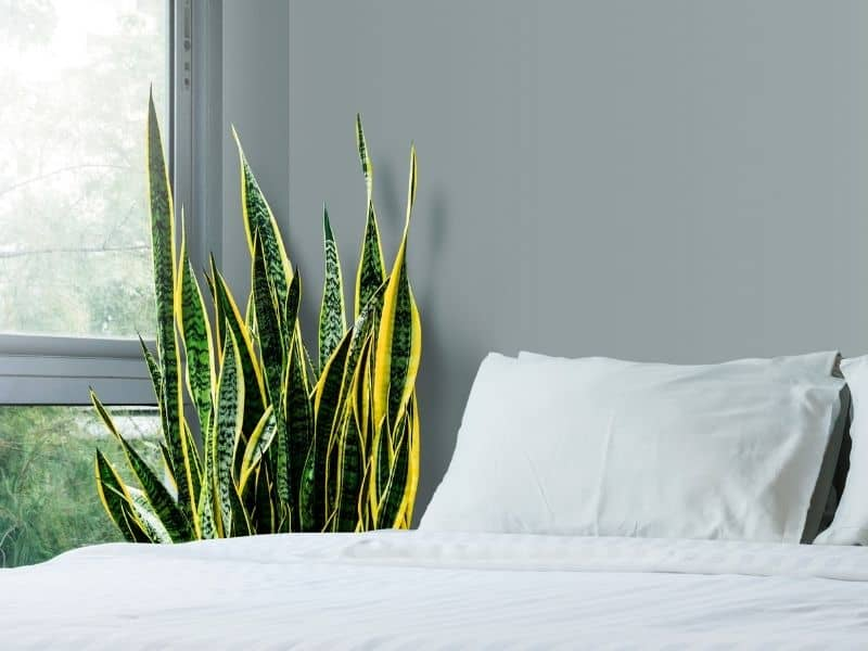 Variegated snake plant by a bed