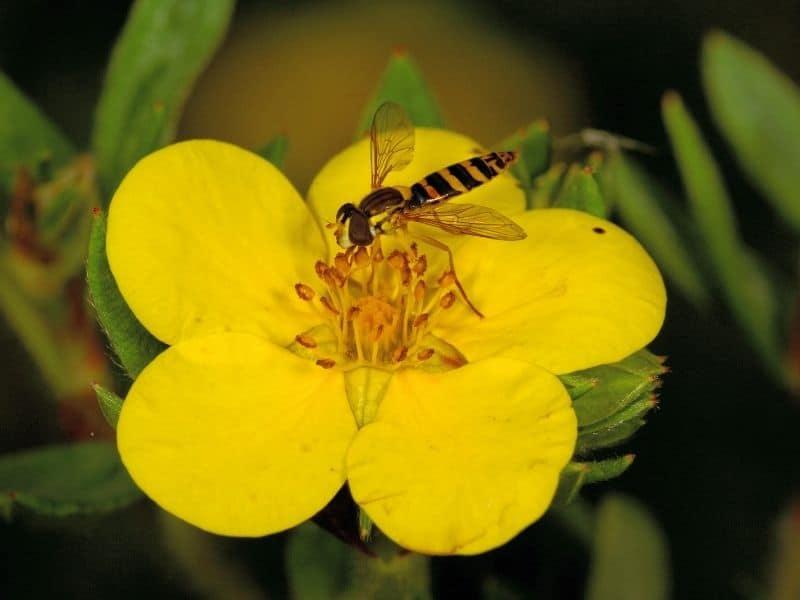 bee visiting a Cinquefoil flower