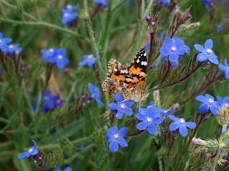 Echium vulgare - bugloss flowers and a butterfly