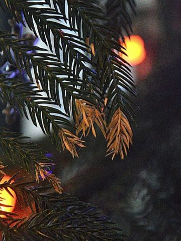 a Norfolk Island pine decorated for Christmas