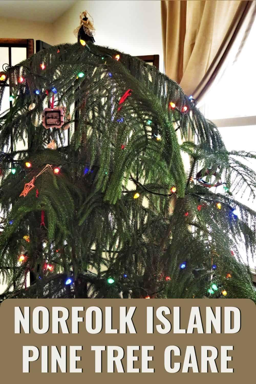 Norfolk Island pine tree care