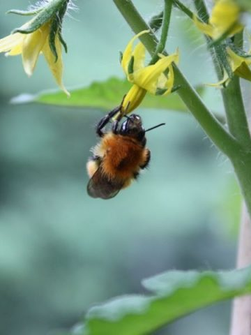 a bee pollinating a tomato flower