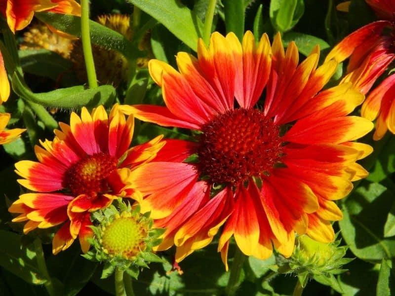 blanket flowers - gaillardia
