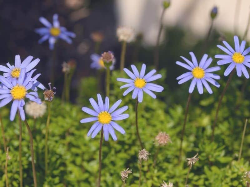 Blue Marguerite daisy flowers