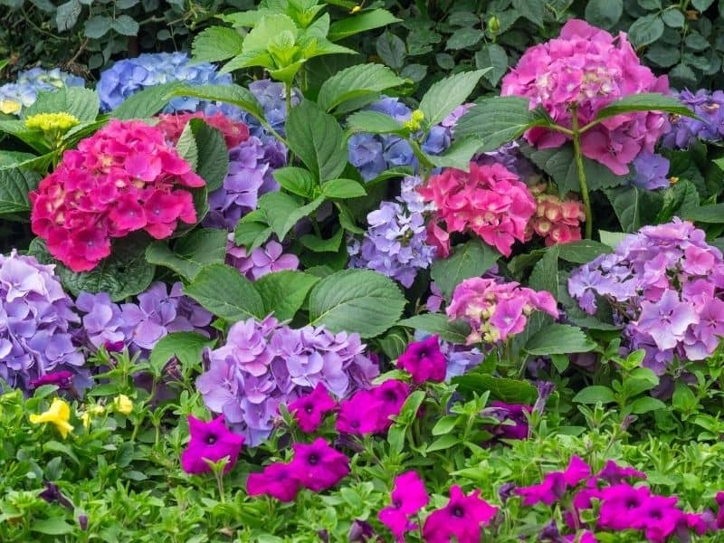 brightly colored hydrangea flowers