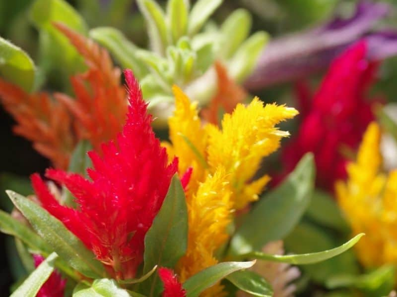red and yellow celosia flowers