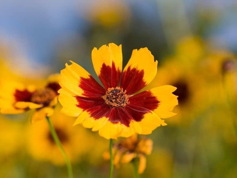 tickseed coreopsis flower