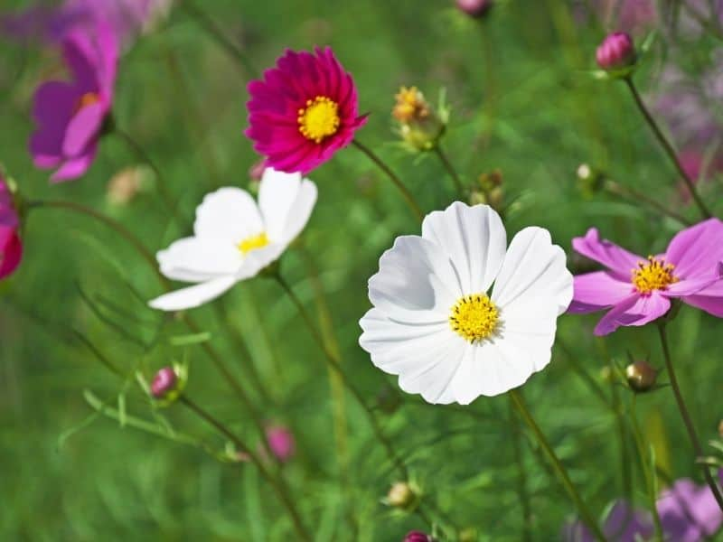 red, white and pink cosmos flowers