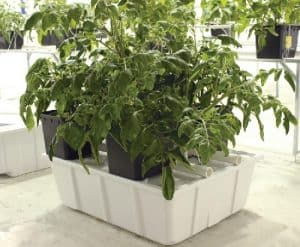 Tomatoes growing in Dutch buckets