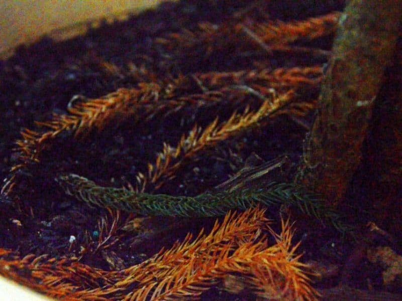dry fallen branches from my Norfolk Island pine tree