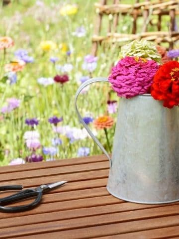 Freshly cut zinnias in a metal canister