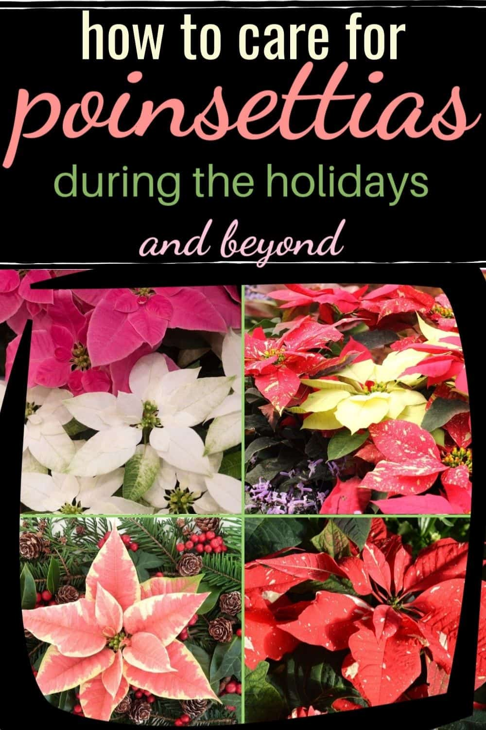 How to care for poinsettias during the holidays and beyond