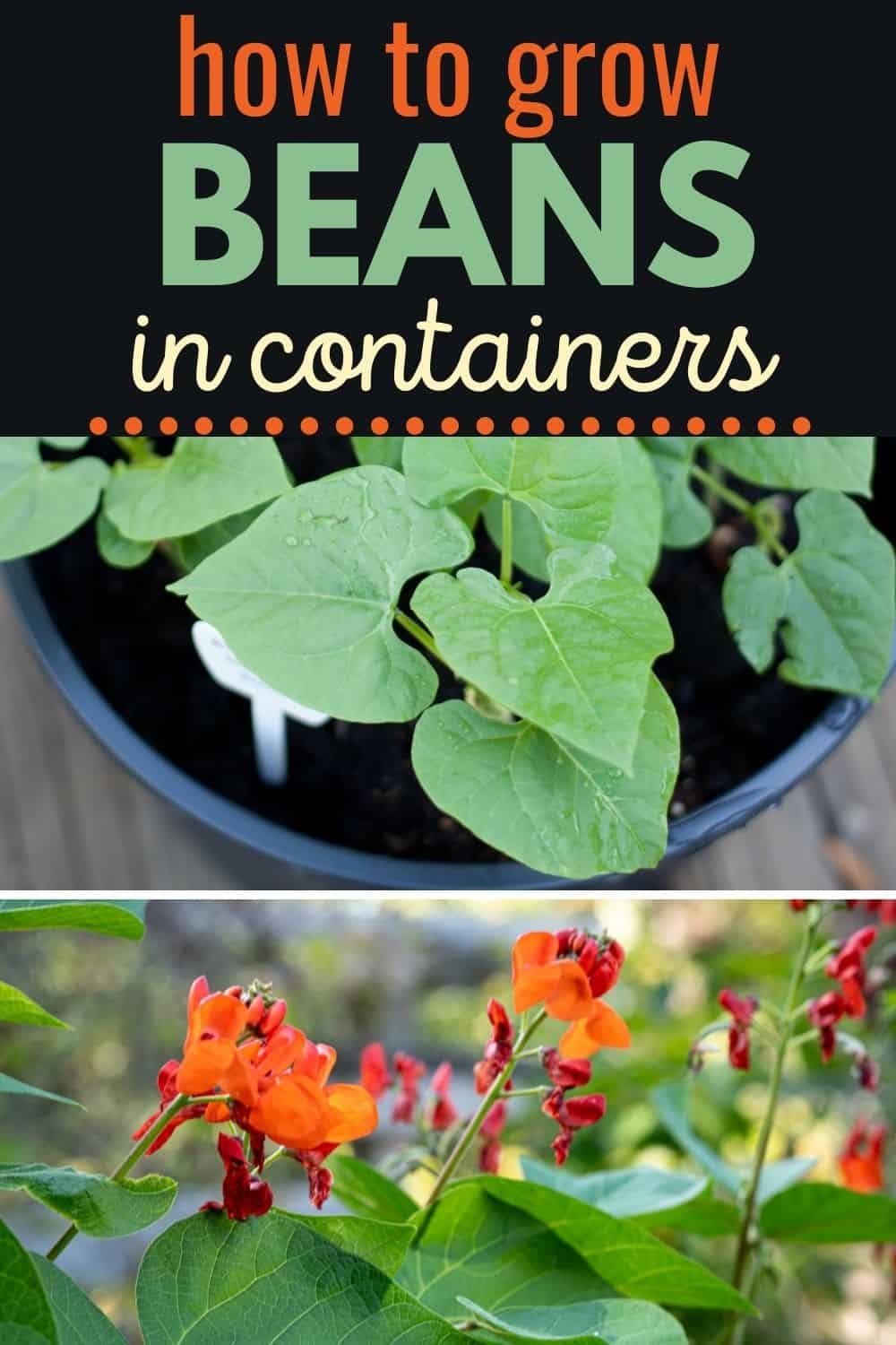 How to grow beans in containers