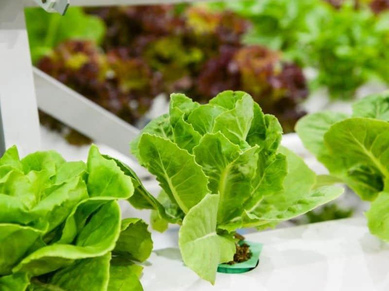 Fresh, crisp, hydroponic greens