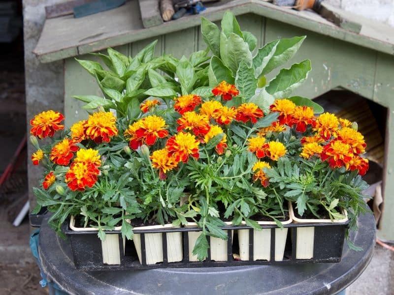a flat of marigold seedlings