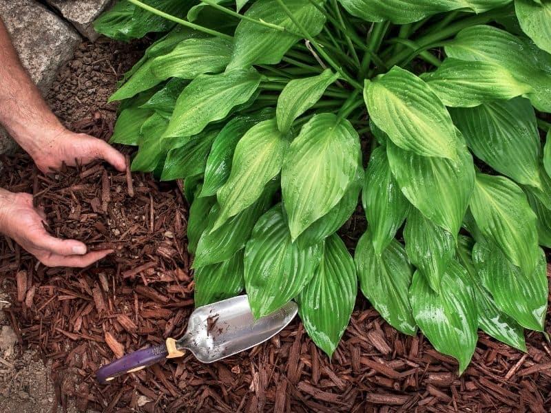 man mulching around a Hosta plant
