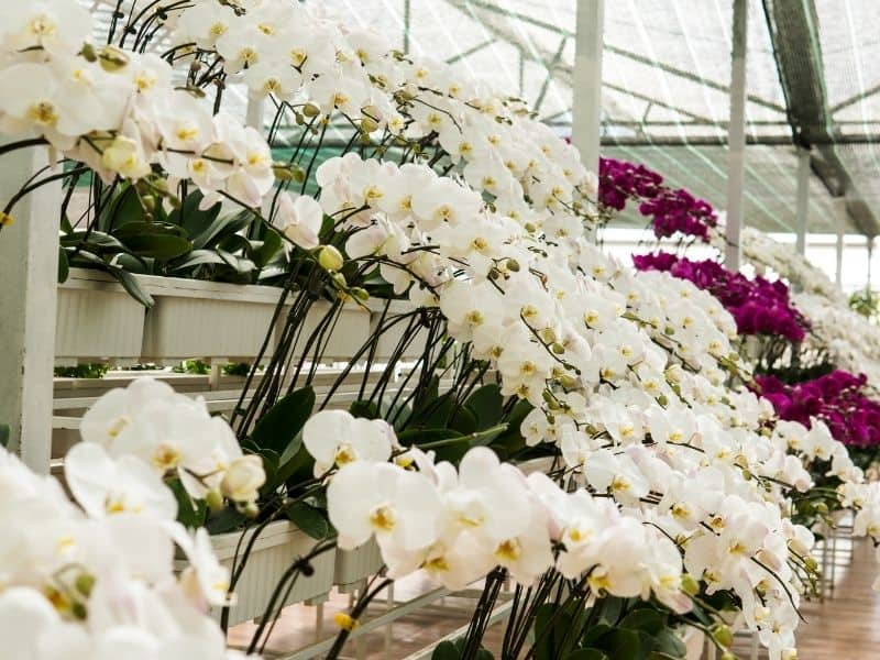 white orchids in a greenhosue