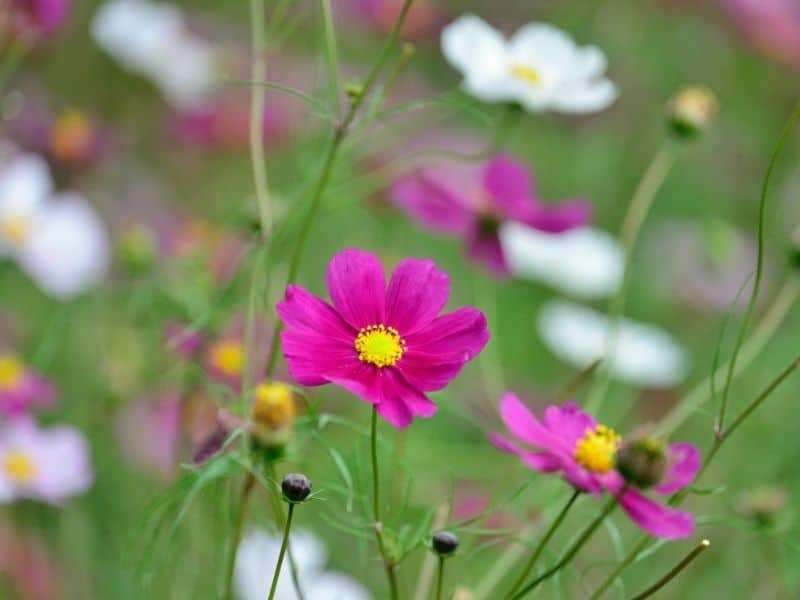 pink and white cosmos flowers