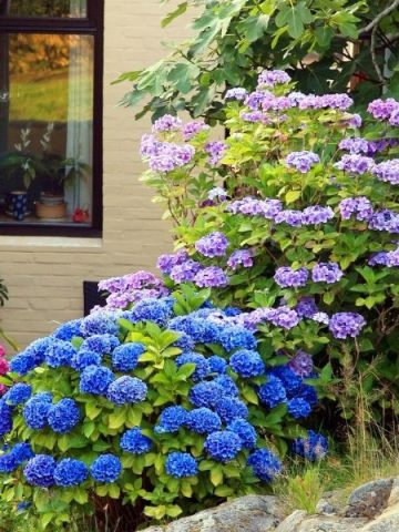 Pink, blue, and purple hydrangeas in front of a house