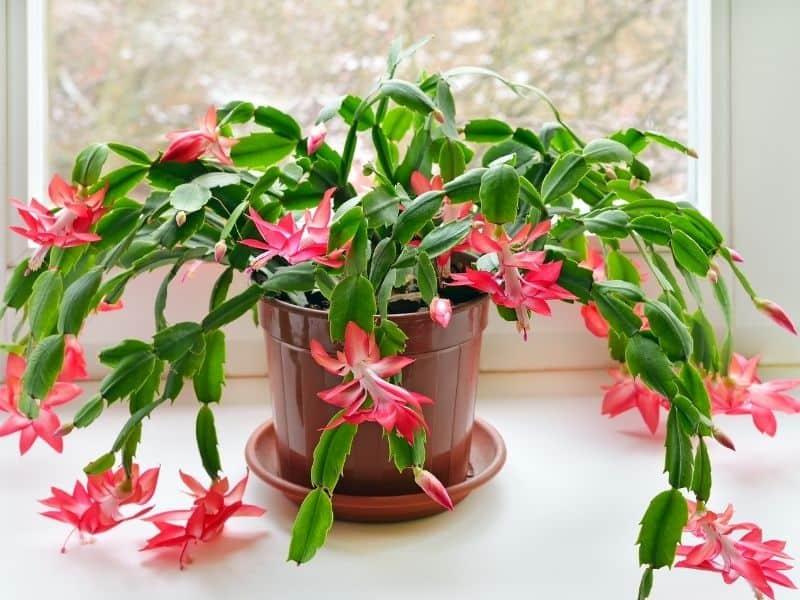 pink Christmas cactus plant