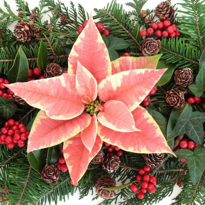 a pink poinsettia in a Christmas arrangement