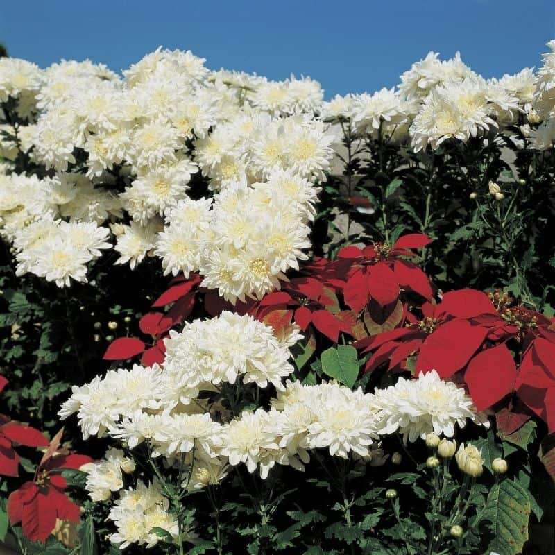 an abundance of white mums with a few red poinsettias for a pop of color