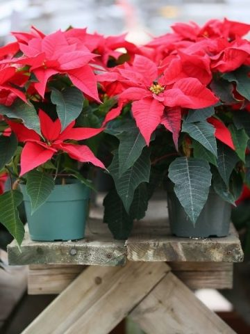 red poinsettias on a wooden table