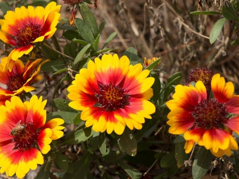 pretty yellow blanket flowers with red centers