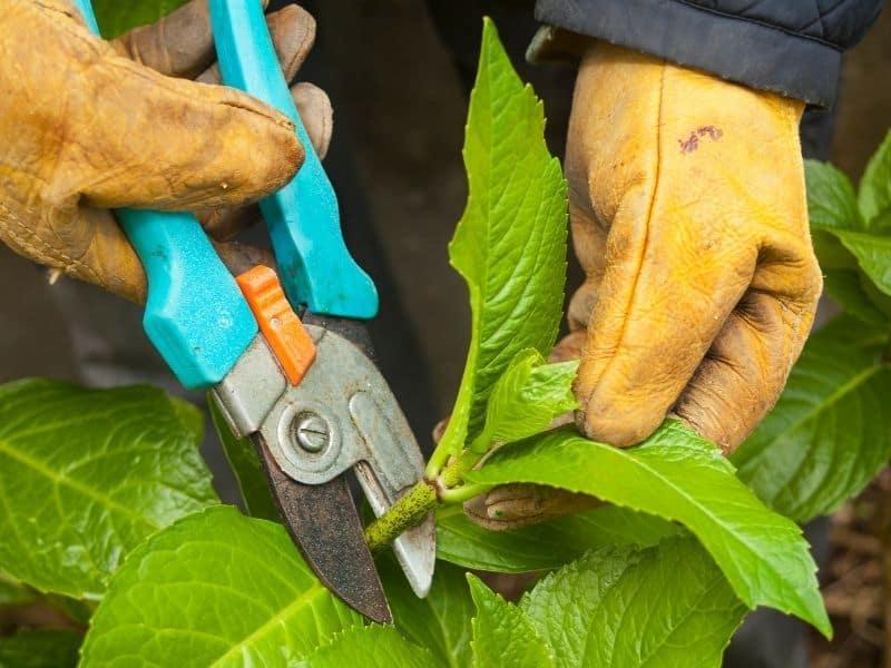 pruning hydrangea plant