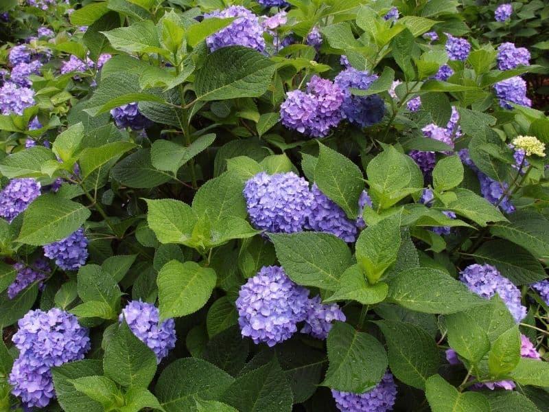 purple hydrangea blooms
