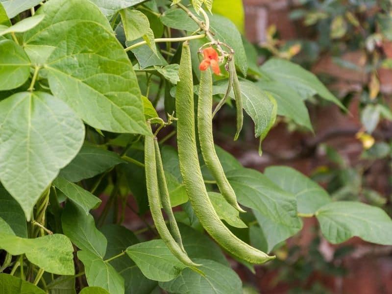 Scarlet runner beans and flower on plant