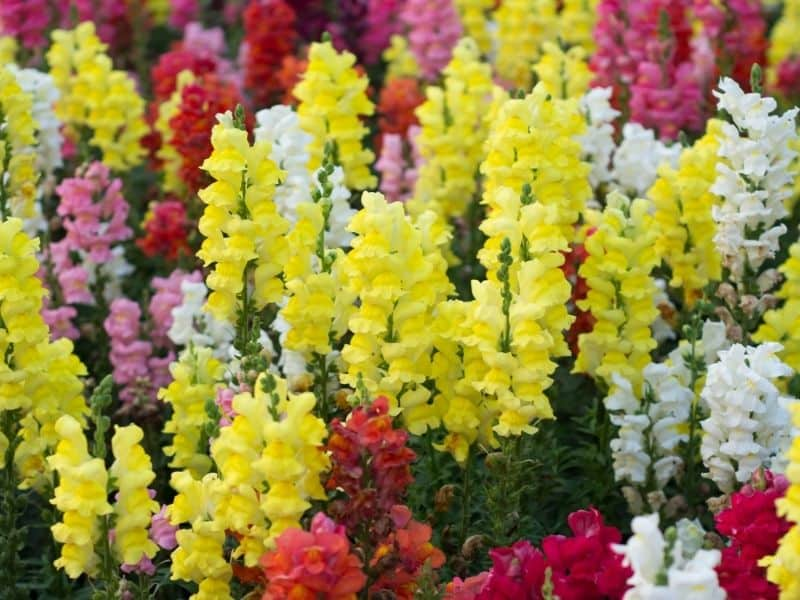 brightly colored snapdragon flowers
