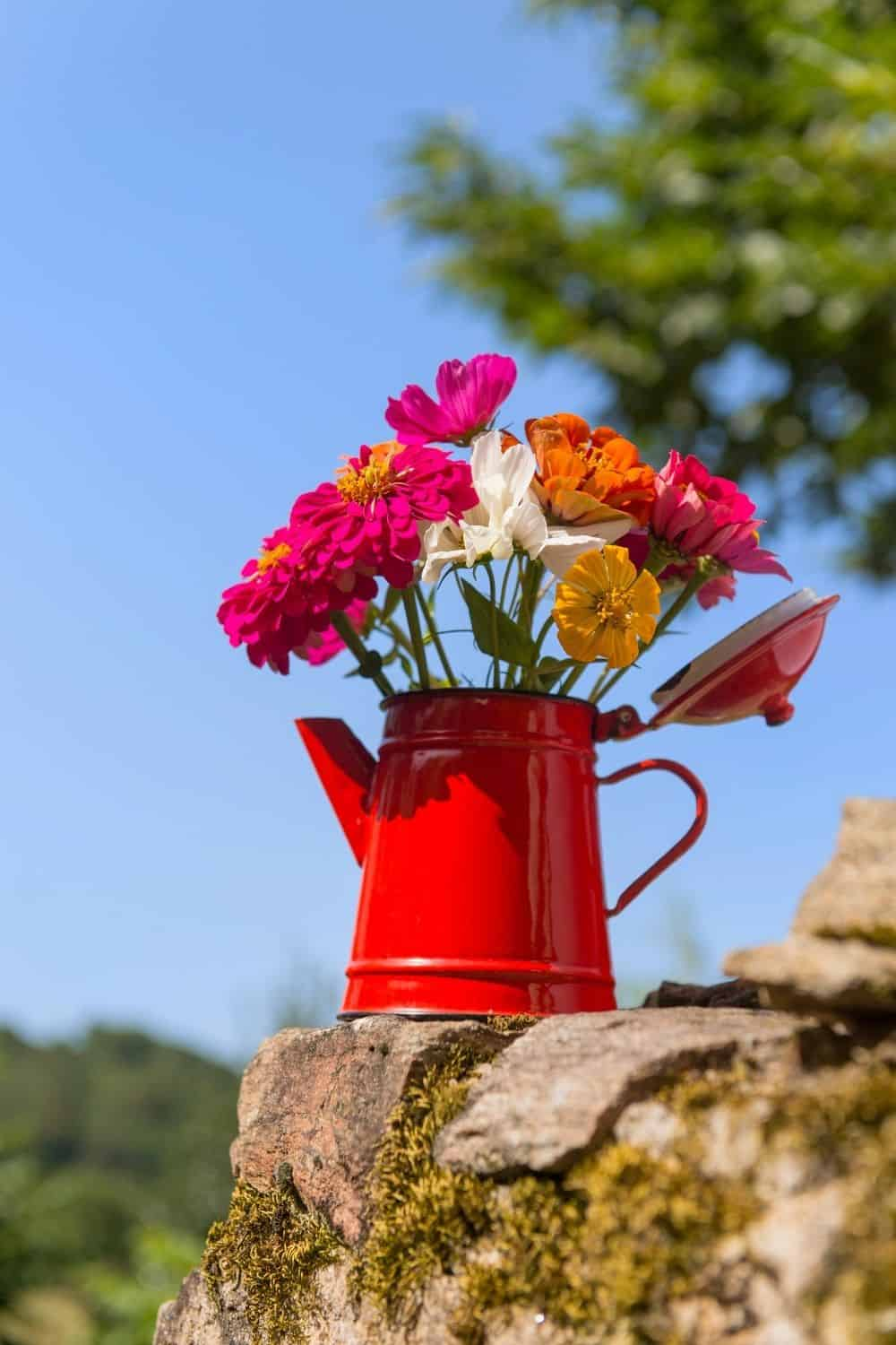 zinnias in red kettle container
