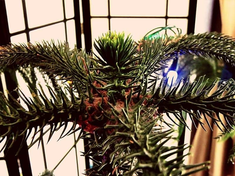 the top of my Norfolk island pine tree