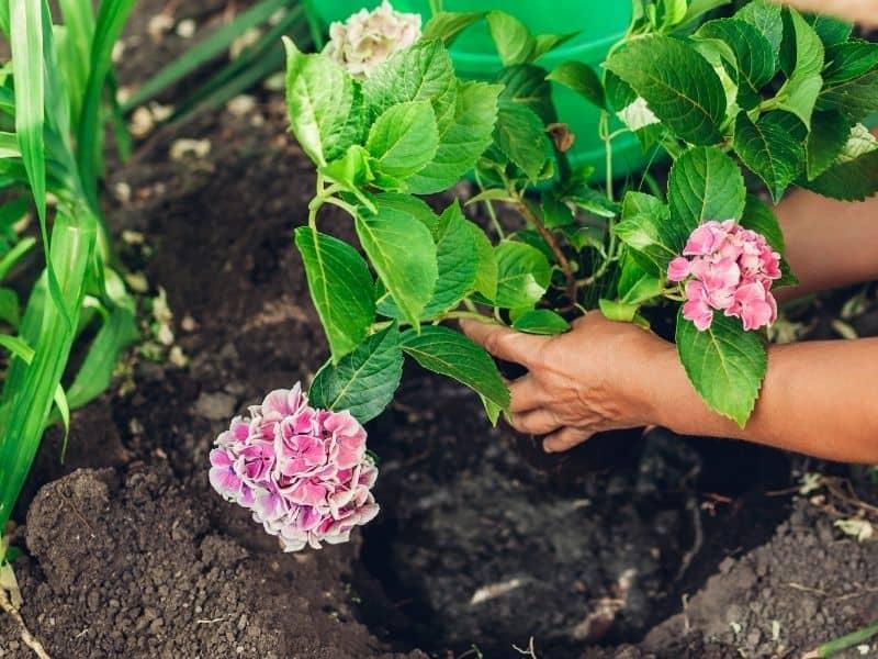 woman transplanting a pink hydrangea plant