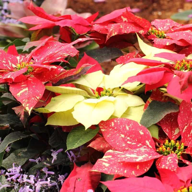 Uniquely colored poinsettias: yellow and red with yellow streaks