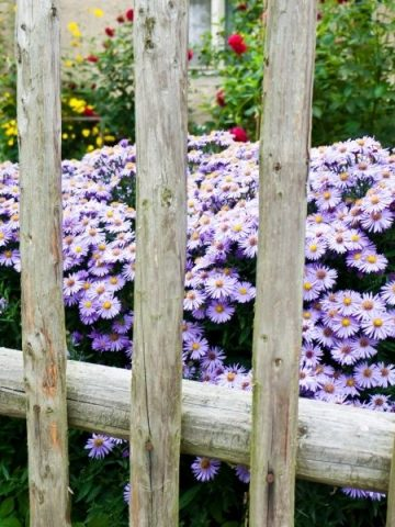 purple asters behind a weathered DIY fence