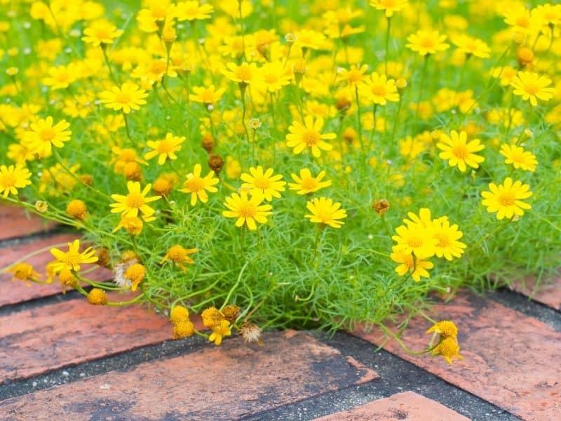 Dahlberg daisy flowers