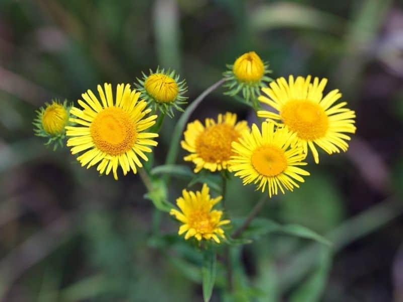 yellow Elecampane flowers