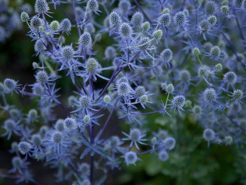 Eryngo flowers