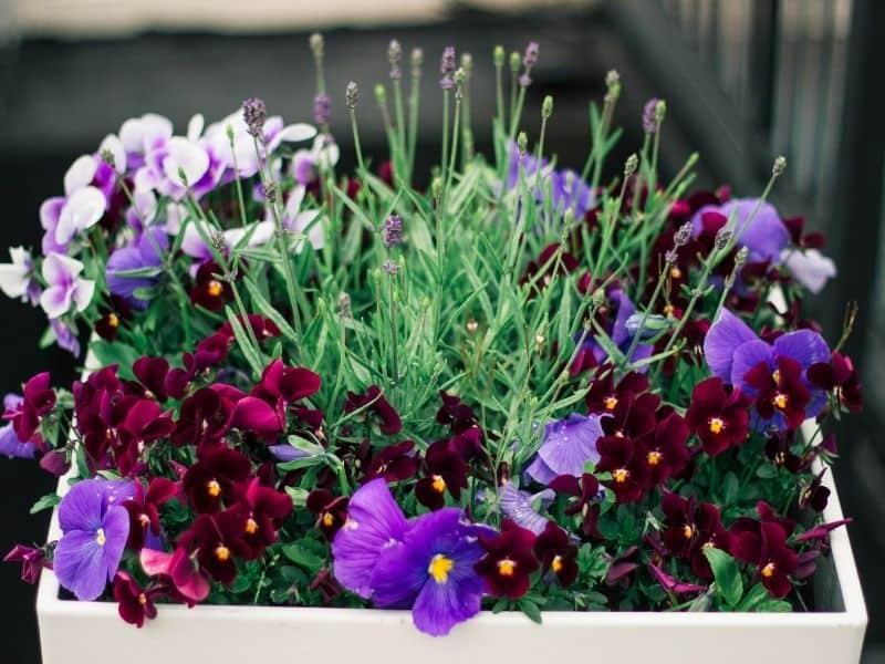 a bloom box filled with pansies and lavender