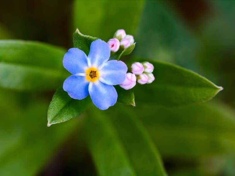 blue and pink forget me not flower and buds