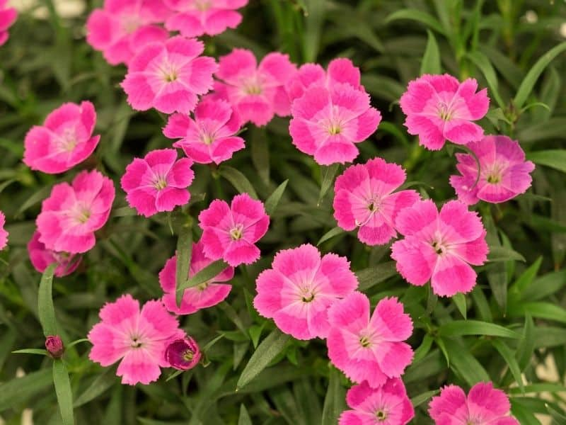 coral colored dianthus