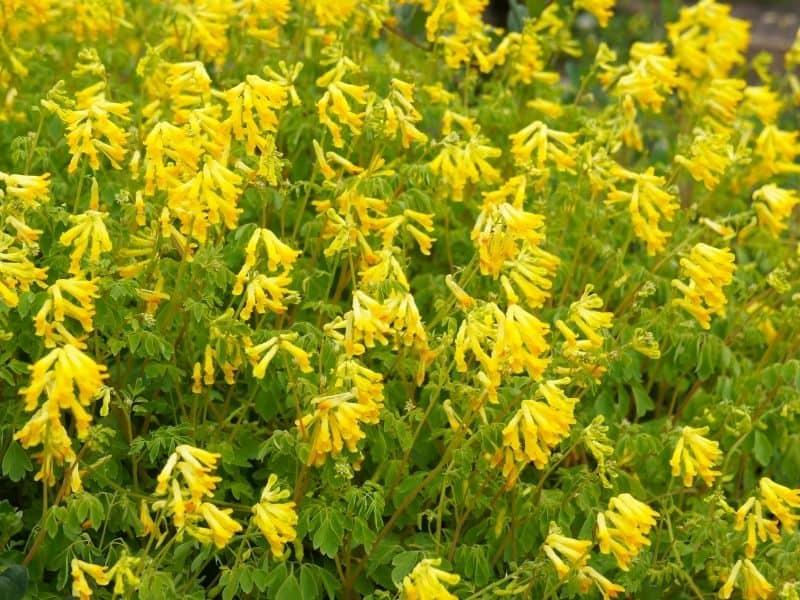 Corydalis lutea flowers