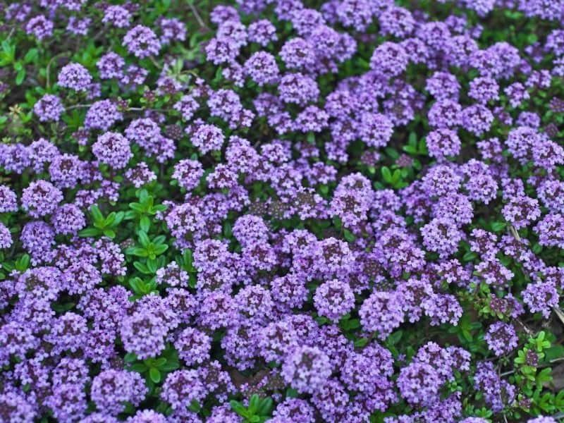 creeping thyme flowers