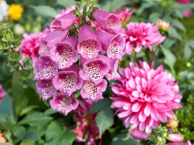 pink digitalis (also called foxglove) flowers