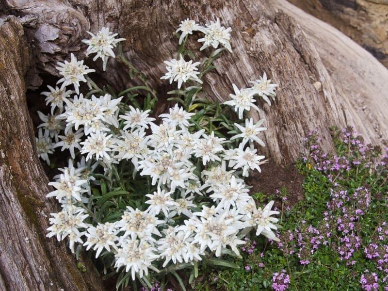 Edelweiss flowers